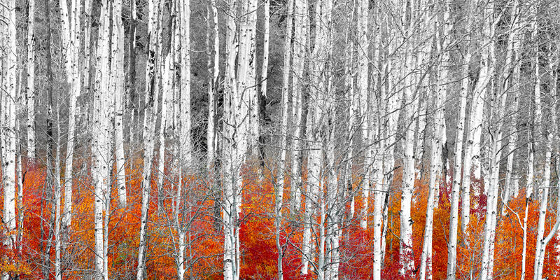 aspen tree photos