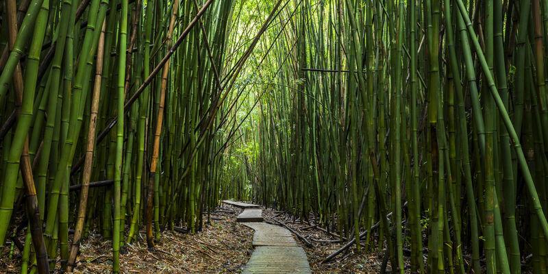 Bamboo Path Panoramic