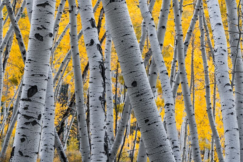Colorado Aspen Tree Photos for Sale