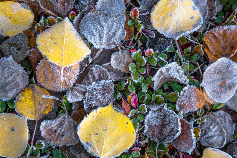 Aspen Leaf Photography for Sale
