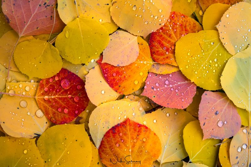 Photos of Aspen Leaves