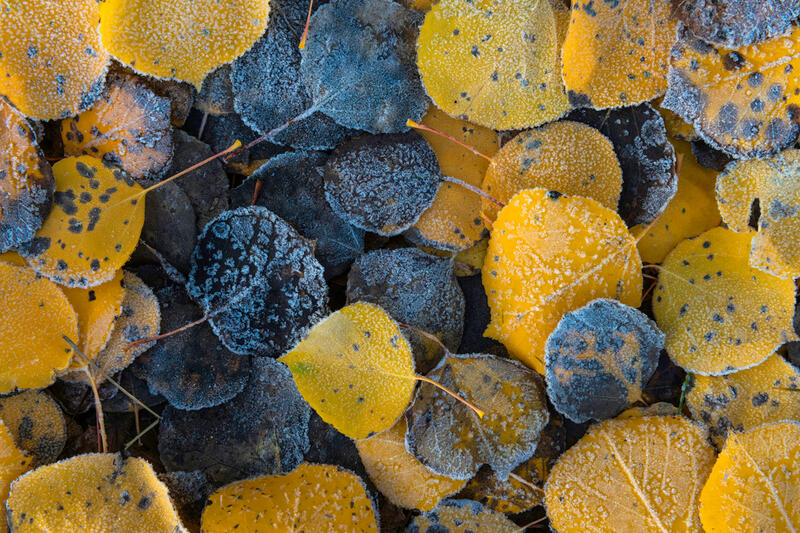 Images of Aspen Tree Leaves