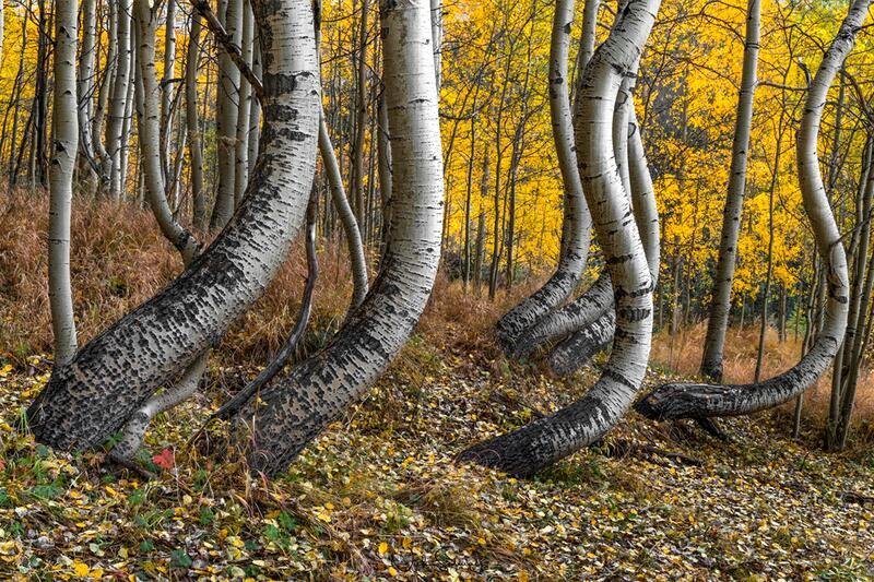 Bent Aspen Trees