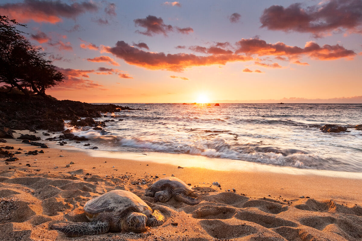 Two Hawaiian Green Sea Turtles sure know how to relax as if nothing else matters.