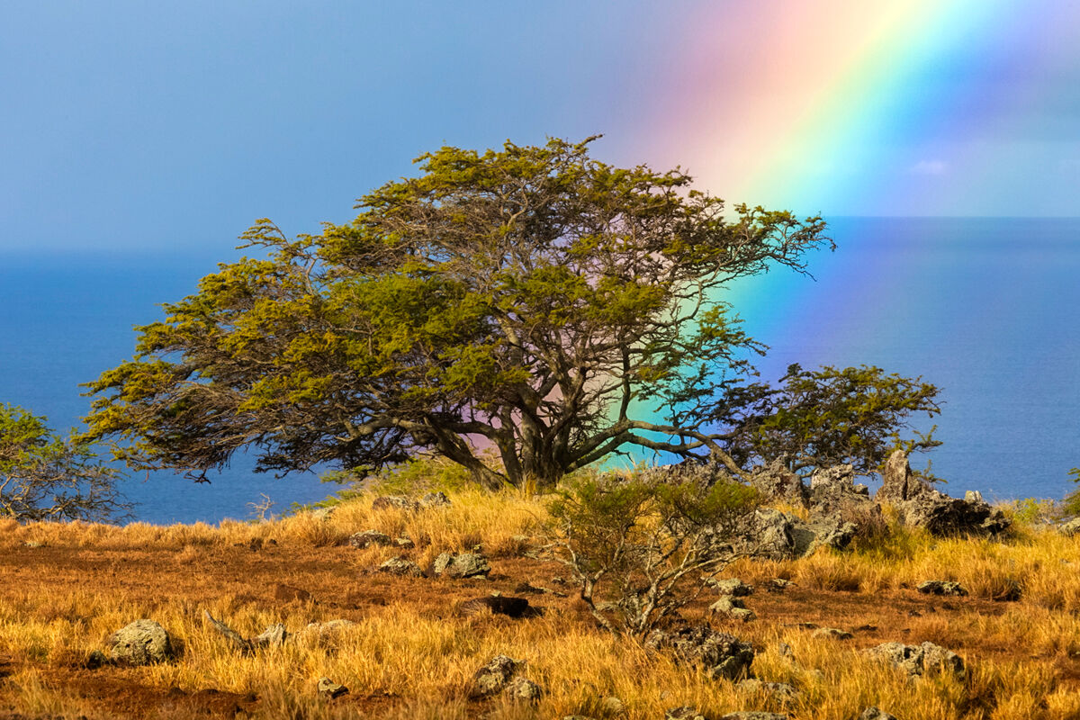 A vibrant rainbow positioned perfect into a Acacia Koa Tree.  These species of flowering tree in the family Fabaceae. It is endemic...