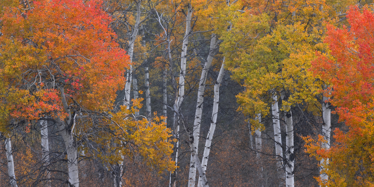 A grove of Aspens shows off its brilliant colors during peak Fall colors.