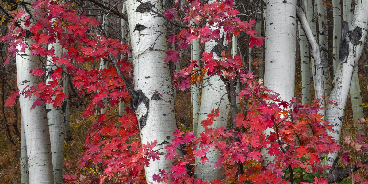 Vibrant Red Maple Leafs and Aspens coming together to create a stunning scene in nature.