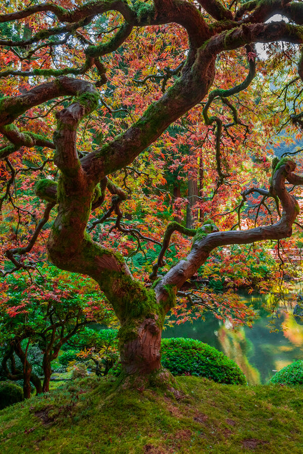 This famous Japanese Maple Tree is located in the Japanese, Gardens in Portland ,Oregon. Many photographers in October come to...