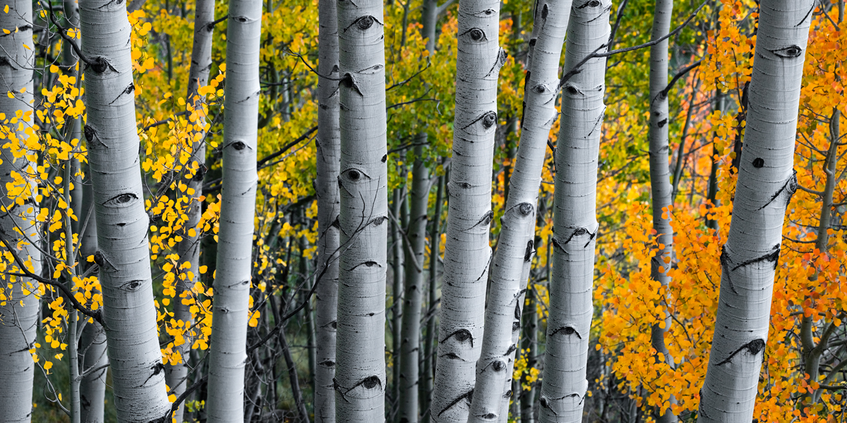 Driving around the Last Dollar Rd/ San Juan Mountain Range I came across this isolated section of aspen trees with an array of...