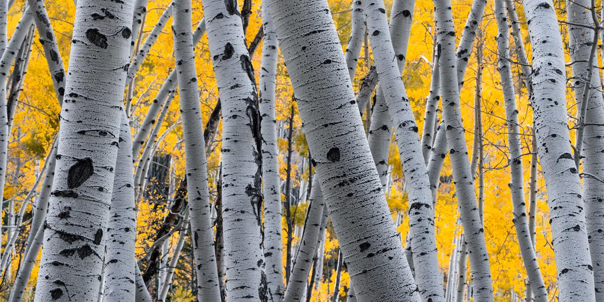 An Aspen grove criss crossing through the forest.
