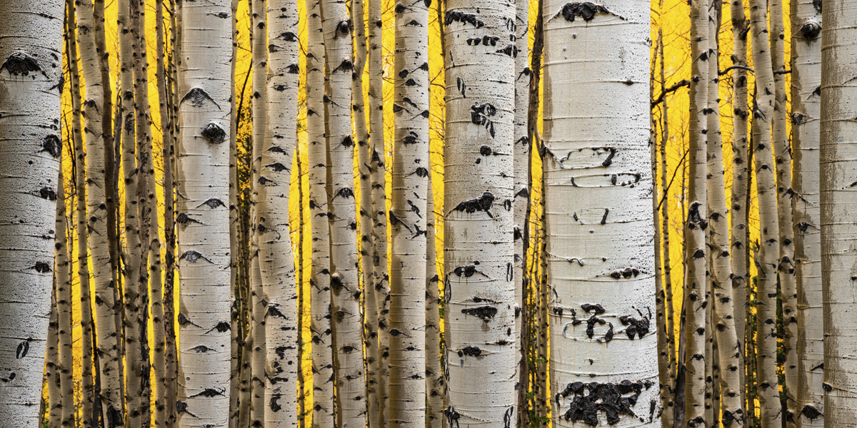 A stand of aspens on a mountain road at peak Fall color in this beautiful piece of nature photography.