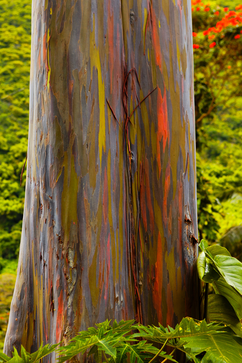 If you have ever visited the Hawaiian Island I'm sure you have came across these unique rainbow colored trees.  Rainbow eucalyptus...
