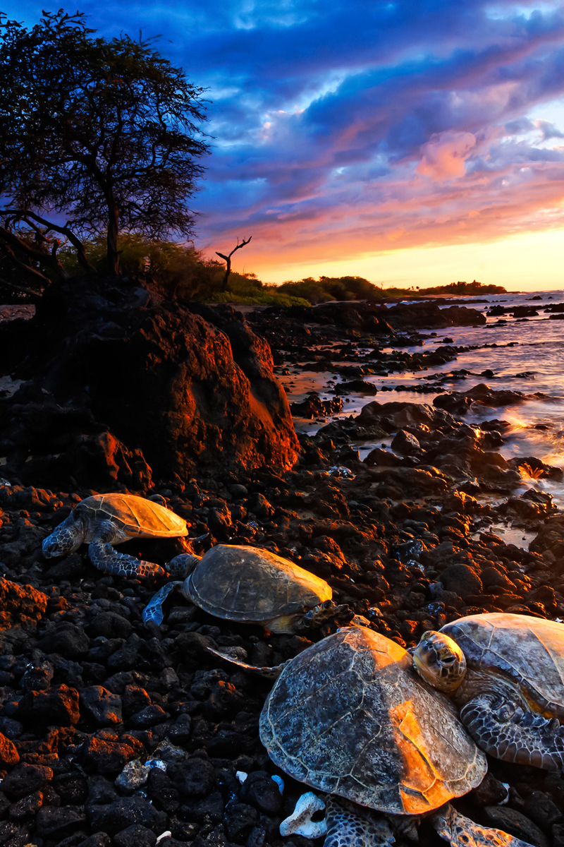 A family of Hawaii Green Sea turtles bask in the warm sunset rays on the lava rocks.